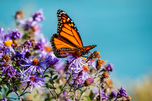 Butterfly On The Blue Flowers,...