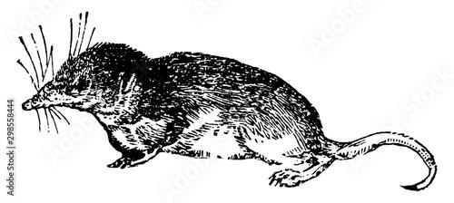 Fotografie, Obraz Shrew, vintage illustration.