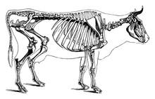 Cow Skeleton, Vintage Illustration.