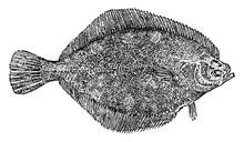 Flatfish, Vintage Illustration.