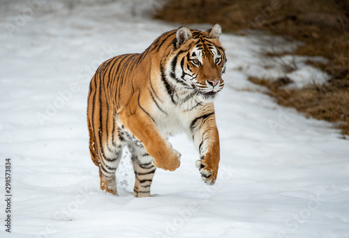 Siberian tiger in Snow Wallpaper Mural