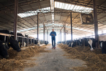 Farmer Cattleman Walking Through Domestic Animals Farm With Tablet And Observing Cows. Cows Eating Hay Food For Milk Production.