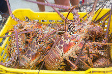 Lobster Season CARIBBEAN Fresh...