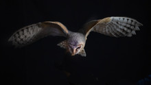 A Barn Owl In Flight At Night....