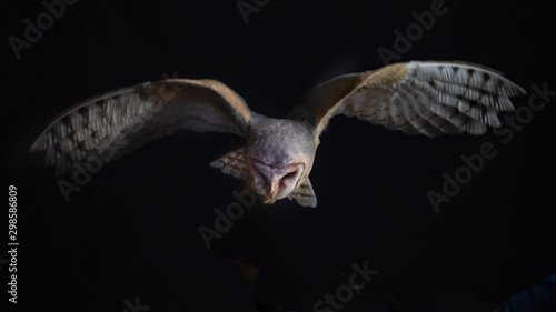 Foto op Aluminium Uil a barn owl in flight at night. It is hunting and looking down as it hovers over its prey and has its wings spread out