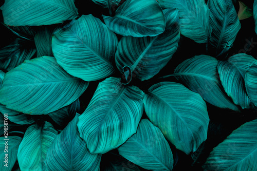 Poster Floral leaves of Spathiphyllum cannifolium, abstract green texture, nature background, tropical leaf