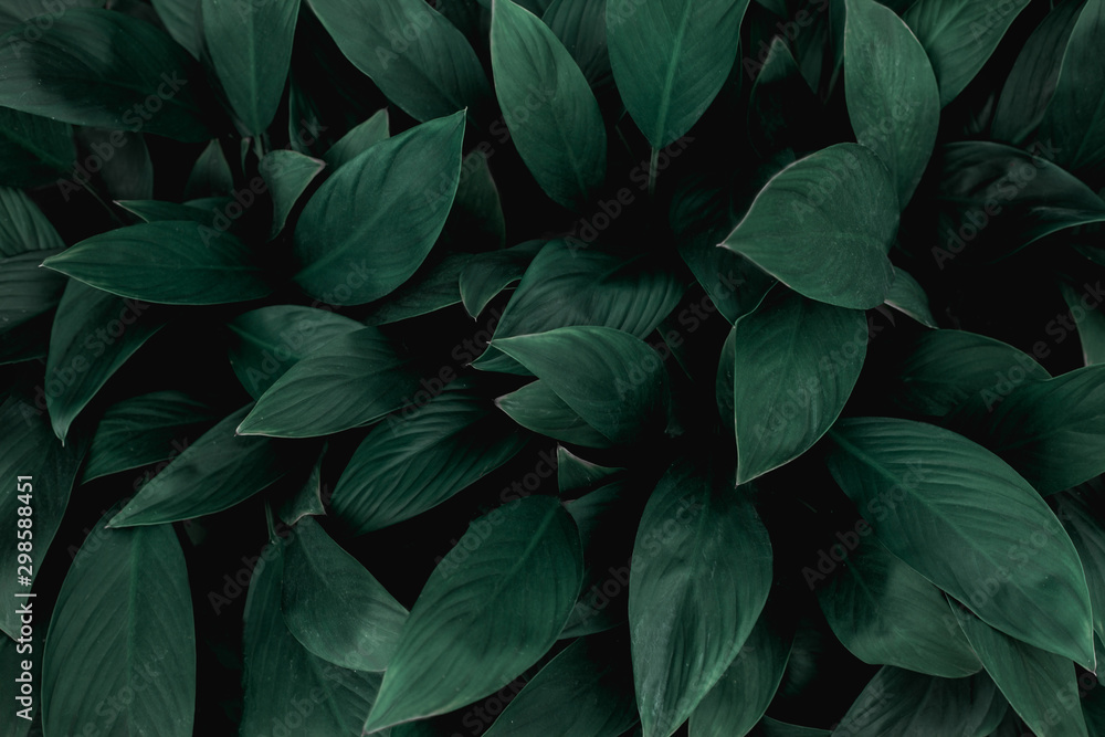 Fototapety, obrazy: closeup nature view of green leaf in garden, dark tone nature background, tropical leaf