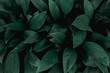 Leinwandbild Motiv closeup nature view of green leaf in garden, dark tone nature background, tropical leaf