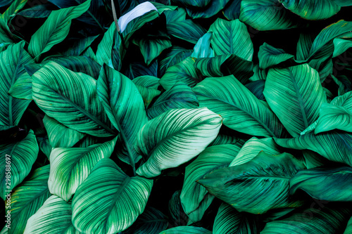 Photo sur Toile Fleur leaves of Spathiphyllum cannifolium, abstract green texture, nature background, tropical leaf