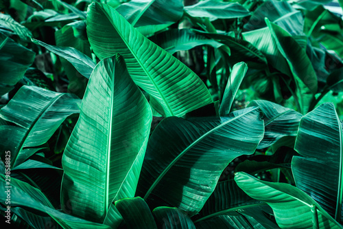 Fototapety, obrazy: tropical banana leaf texture in garden, abstract green leaf, large palm foliage nature dark green background