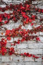 Autumn Red Hedera (ivy) Leaves At Gray Brick Wall
