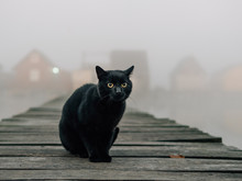 Black Cat Outdoor. Foggy Morni...