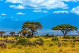 Fototapeta Sawanna - Desert acacia in the savanna