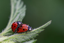 Pair Of Seven Spot Ladybirds (Coccinella Septempunctata) Mating On The Leaf Of A Stinging Nettle