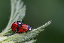 Pair Of Seven Spot Ladybirds (...