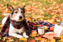 Dog On A Picnic, Autumn Mood, A Cute Puppy With A Scarf Lies In The Leaves In The Park Outside. Romantic Contented Dog Resting In Golden Autumn. Dog Looks Into The Distance
