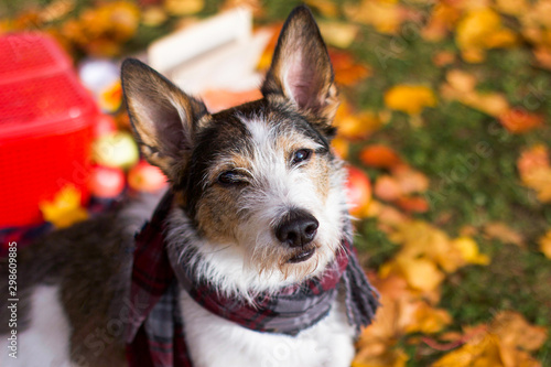 Photo  The dog is in the autumn mood, a cute puppy with a scarf is sitting in the colorful leaves in the park outside