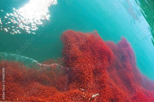 Photo lobster krill swarm in sea water