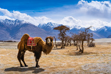 A Camel Standing In Front Of  A Dessert Plant With A Mountain Background At Sand Dunes In Nubra Valley, Diskit, Ladakh District, Jammu And Kashmir, India