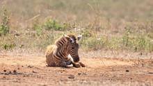Zebra Foal Rolling In The Red ...