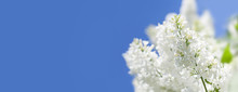 Springtime Park Flowering Bush...