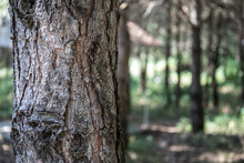 Bark Of Pine Tree Close Up. Beautiful Pine Forest At Summer Time.