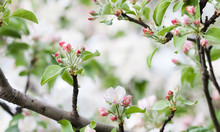 Apple Tree Flowers Blossom Macro View. Blossoming White Pink Petals Fruit Tree Branch, Tender Blurred Bokeh Background. Shallow Depth Of Field