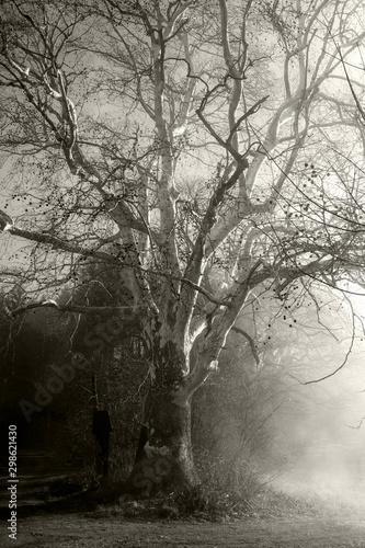 drzewo-we-mgle-czarny-i-bialy