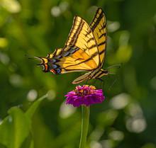 Western Tiger Swallowtail Butterfly Seeking Nectar On Purple Zinnia Wildflowers, Montrose Botanic Gardens, Colorado #2