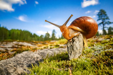 Snail Slowly Creeping Along Su...