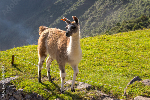Alpaca is walking in Machu Picchu in Peru