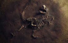 Dinosaur Fossil (Tyrannosaurus Rex) Found By Archaeologists