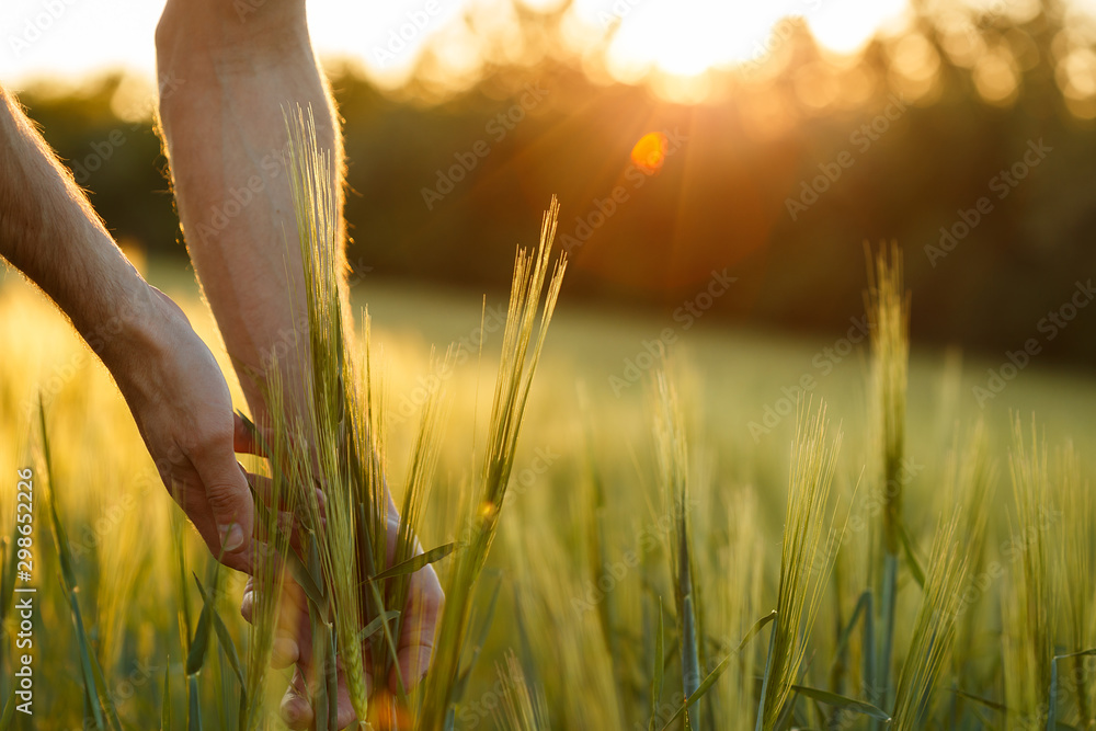 Fototapety, obrazy: Farmer's hands touch young wheat in the sunset light
