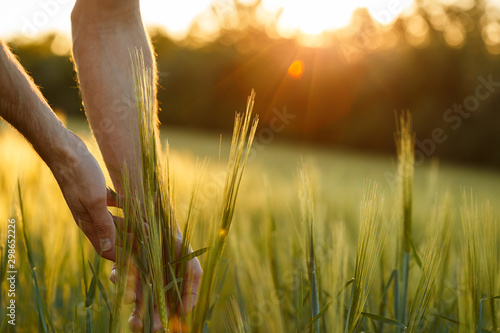 Leinwand Poster  Farmer's hands touch young wheat in the sunset light