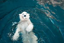 Polar Bear Swims In Cold Blue ...