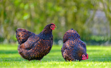 Pair Of Show Quality Wyandotte Hens Seen Looking For Food In A Large Domestic Garden In Late Spring.