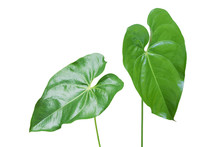 Green Leaves Of Anthurium Plant Isolated On White Background