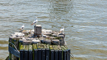 Small Flock Of Seagulls Sitting On  Harbor Piling