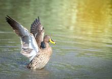 A Yellow Billed Duck, Photogra...