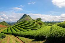 Green Tea  Terrace Fields In M...