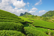 Green Tea  Terrace Fields In Moc Chau, Northwest Of Vietnam