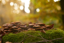 Ringless Honey Mushrooms Isola...