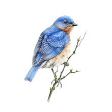 Bluebird Sitting On A Branch W...