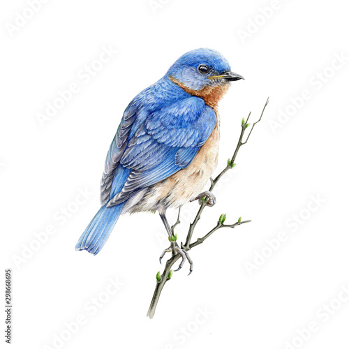 Vászonkép Bluebird sitting on a branch watercolor illustration