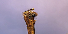 Family Storks In The Nest Dram...
