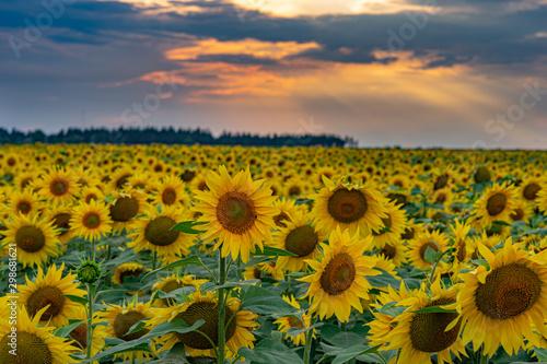 Fototapeta sunflowers and sunset obraz