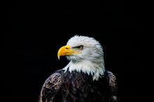 Close Up Of A Bald Eagle (Hali...