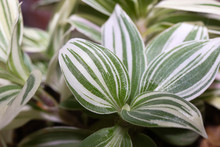 Tradescantia. Variegated Leaves Of Indoor Flower Having Longitudinal Contrasting Strips Of White And Green.