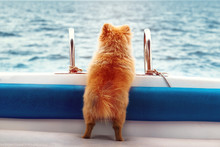 A Lone Pomeranian Dog Looks Into The Distance From The Side Of The Boat. The Concept Of Parting And Loneliness