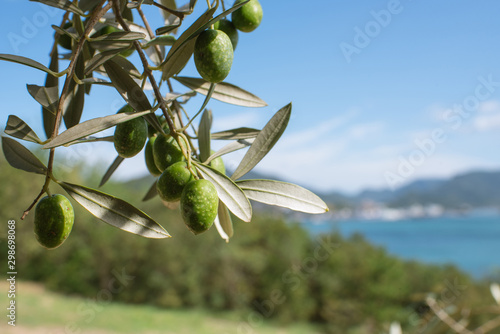 Foto op Aluminium Olijfboom Olive tree against blue sea and sky, Shodoshima Island in Kagawa, Japan オリーブの木と瀬戸内海 香川県・小豆島
